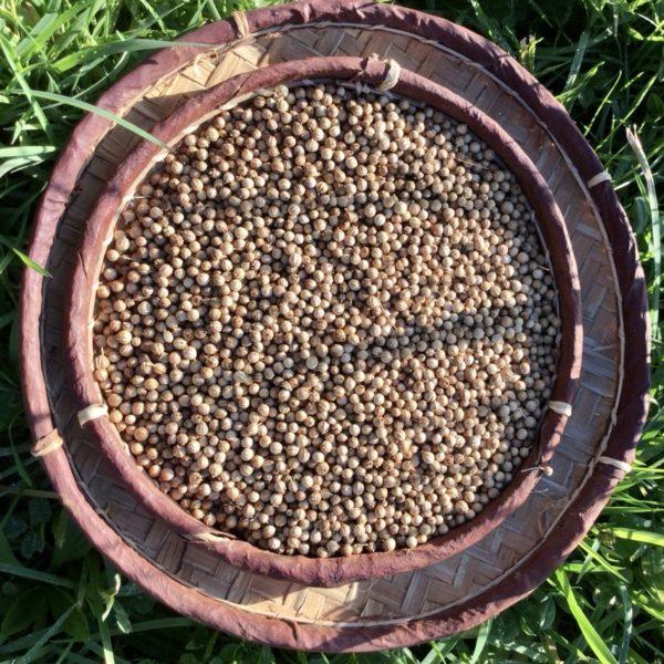 Coriandre-graine