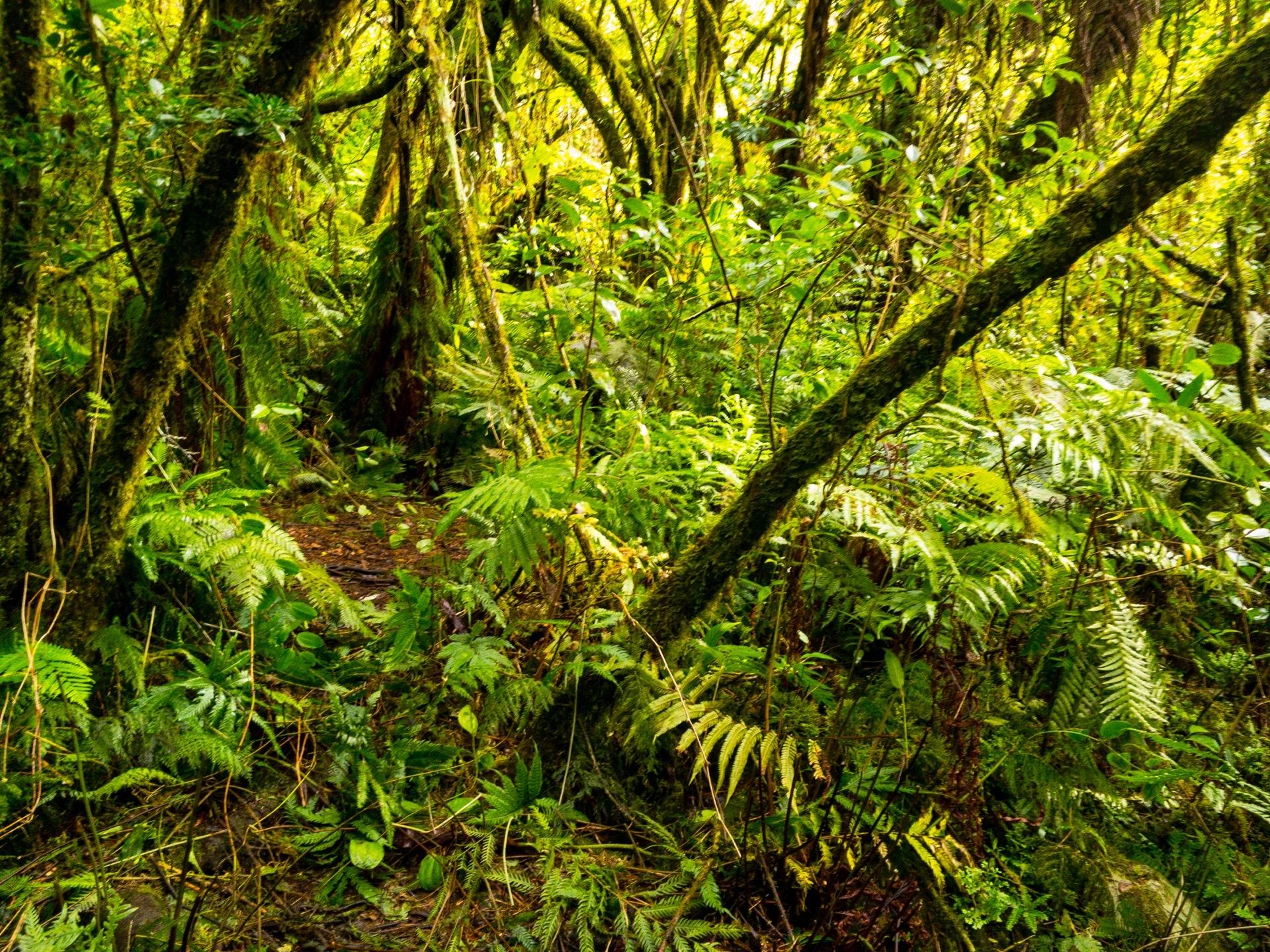Forêt-belouve-Ile-reunion